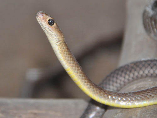 photo Indian ratsnake / <span class='cursive'>Ptyas korros</span>