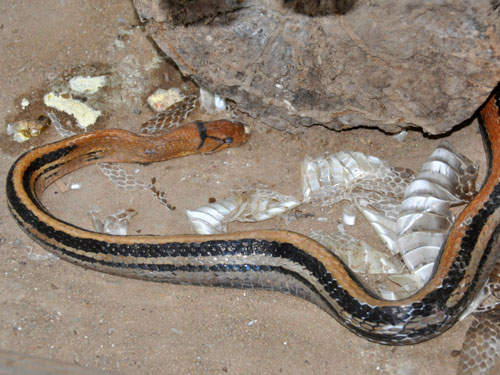 photo Radiated  ratsnake / <span class='cursive'>Coelognathus radiata</span>