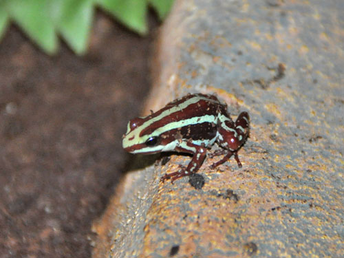 Anthony's Poison Arrow Frog