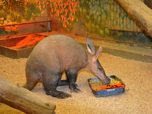 photo Orycteropus afer / Aardvark