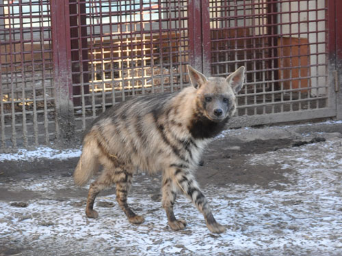 East African Striped hyaena