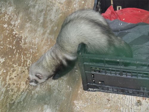 Domestic ferret