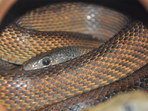 photo Pantherophis bairdi / Baird's ratsnake