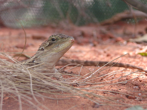photo Jacky lizard / <span class='cursive'>Amphibolurus muricatus</span>