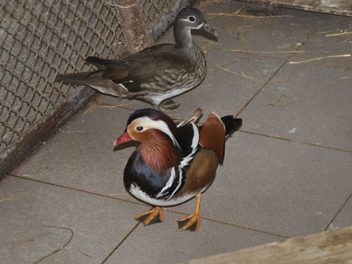photo Mandarin duck / <span class='cursive'>Aix galericulata</span>