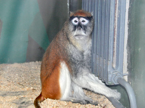 photo Patas monkey / <span class='cursive'>Erythrocebus patas</span>