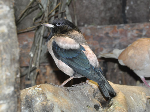 photo Rose-colored starling / <span class='cursive'>Sturnus roseus</span>