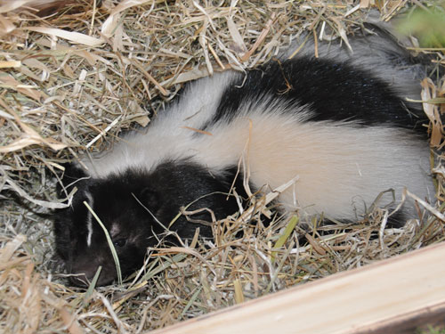 photo Striped skunk / <span class='cursive'>Mephitis mephitis</span>