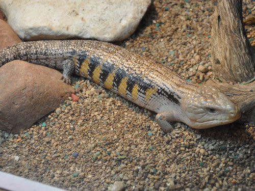 photo Blue-tonqued skink / <span class='cursive'>Tiliqua scincoides</span>