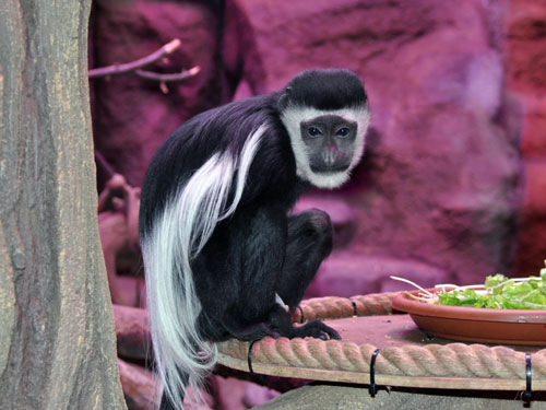 photo Colobus guereza / Eastern black-and-white colobus