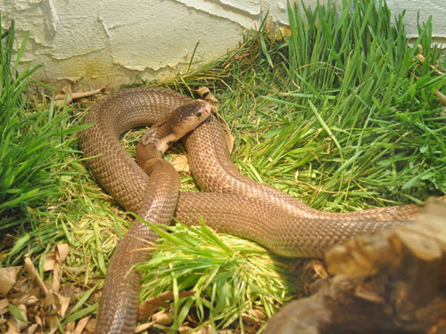 photo Monocellate cobra / <span class='cursive'>Naja naja kaouthia</span>