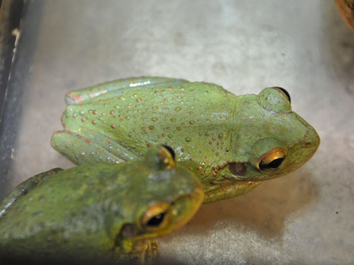 photo Cuban tree frog / <span class='cursive'>Osteopilus septentrionalis</span>