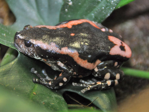 Red-banded frog