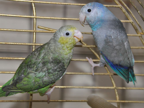 photo Green-rumped parrotlet / <span class='cursive'>Forpus passerinus</span>