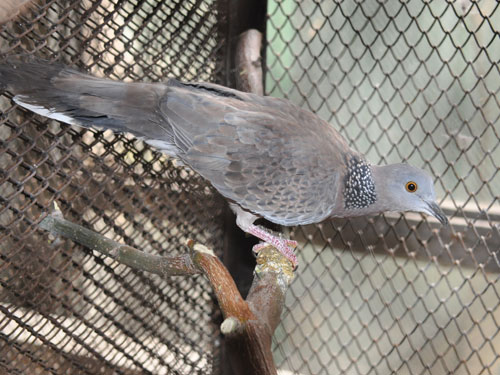 photo Spotted dove / <span class='cursive'>Spilopelia chinensis</span>
