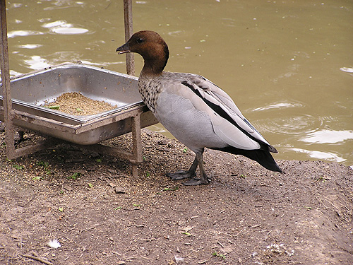 photo Australian wood duck / <span class='cursive'>Chenonetta jubata</span>