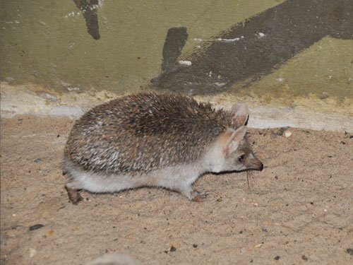 photo Long-eared hedgehog / <span class='cursive'>Hemiechinus auritus</span>