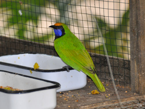 photo Golden-fronted leafbird / <span class='cursive'>Chloropsis aurifrons</span>