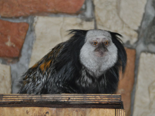 photo White-fronted marmoset / <span class='cursive'>Callithrix geoffroyi</span>