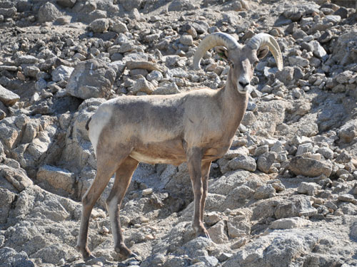 photo Ovis canadensis nelsoni / Desert bighorn sheep