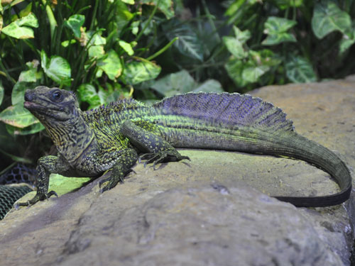 photo Weber's crested water dragon / <span class='cursive'>Hydrosaurus weberi</span>