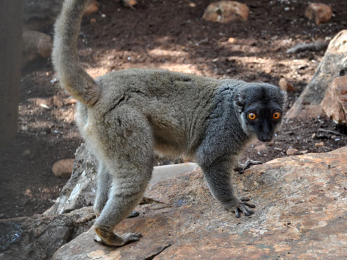 photo Brown lemur / <span class='cursive'>Eulemur fulvus</span>
