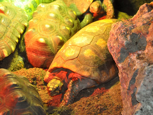 South American red-footed tortoise / Chelonoidis carbonarius<br> Total: 70