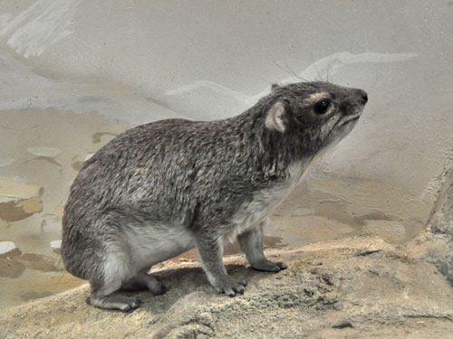 Yellow-spotted hyrax