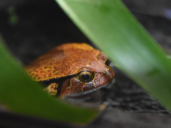 photo Sambava tomato frog / <span class='cursive'>Dyscophus guineti</span>