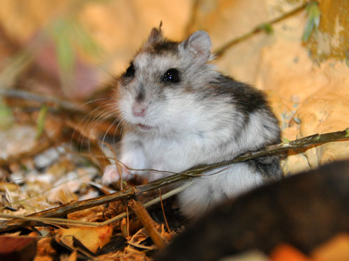 Hairy-footed hamster