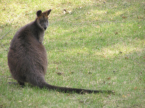 photo Swamp wallaby / <span class='cursive'>Wallabia bicolor</span>