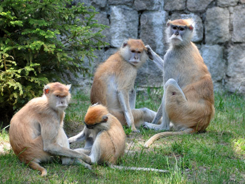 photo <span class='cursive'>Erythrocebus patas</span> / Patas monkey