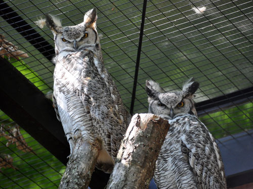 photo Great horned owl / <span class='cursive'>Bubo virginianus</span>