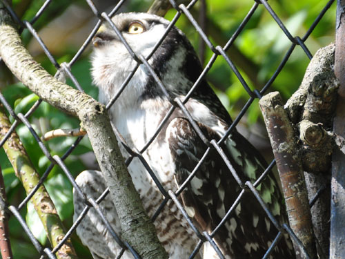 photo Hawk owl / <span class='cursive'>Surnia ulula</span>