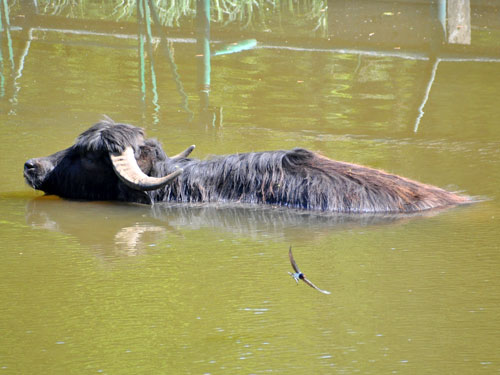 photo Asiatic water buffalo / <span class='cursive'>Bubalus bubalis</span>