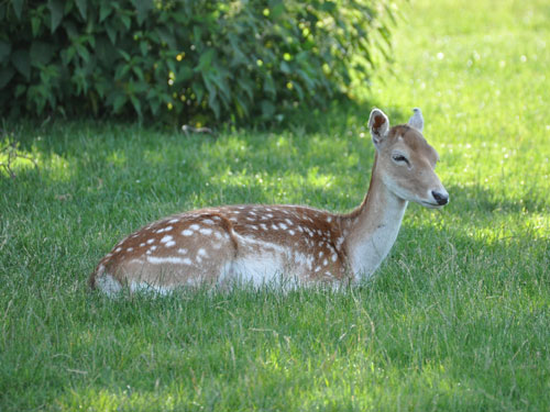 photo Fallow deer / <span class='cursive'>Dama dama</span>