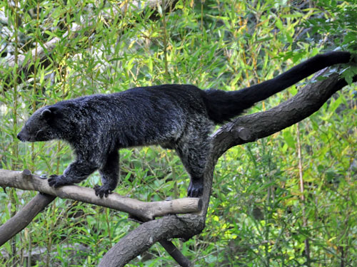 photo Binturong / <span class='cursive'>Arctictis binturong</span>