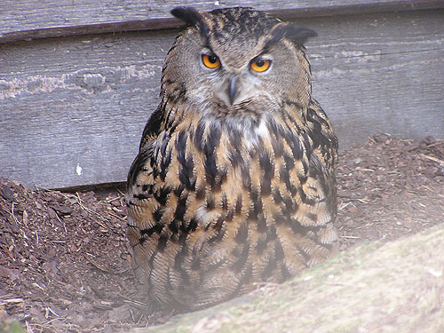 photo Eurasian eagle owl / <span class='cursive'>Bubo bubo bubo</span>