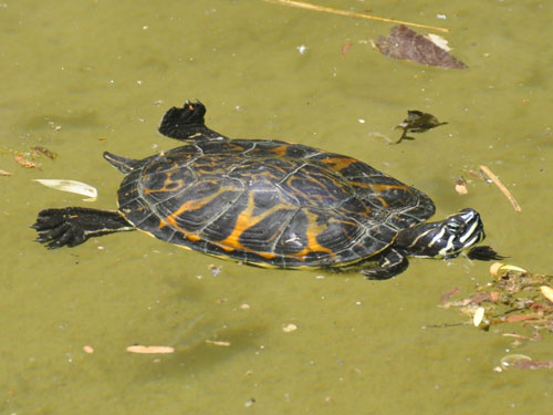 Common cooter