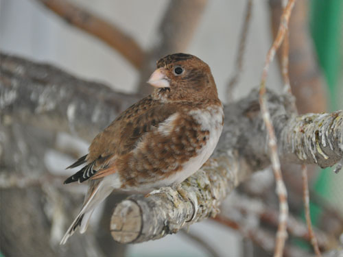 photo Crimson-winged finch / <span class='cursive'>Rhodopechys sanguinea</span>