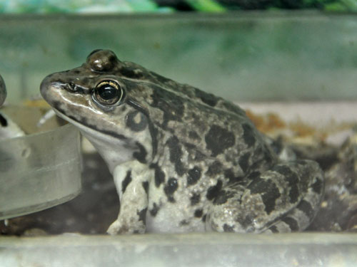 photo Marsh frog / <span class='cursive'>Pelophylax ridibundus</span>