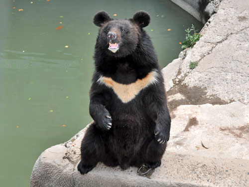 Manchurian black bear