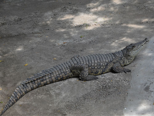 photo Crocodylus niloticus / Nile crocodile
