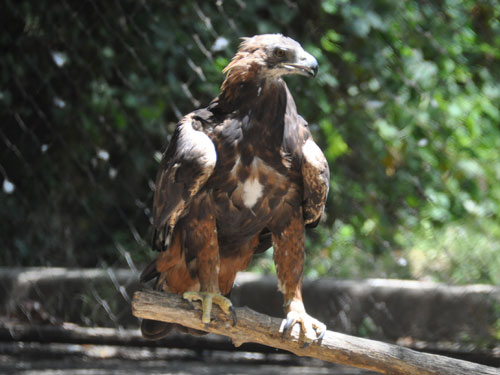 photo Manchurian golden eagle / <span class='cursive'>Aquila chrysaetos daphanea</span>