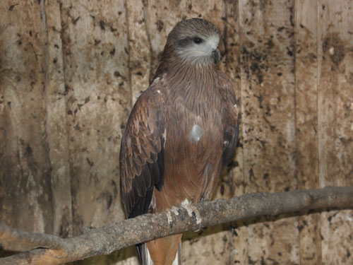 photo Siberian black kite / <span class='cursive'>Milvus migrans lineatus</span>