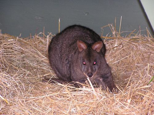 Red-bellied pademelon