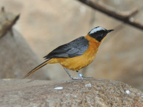 Snowy-crowned robin chat