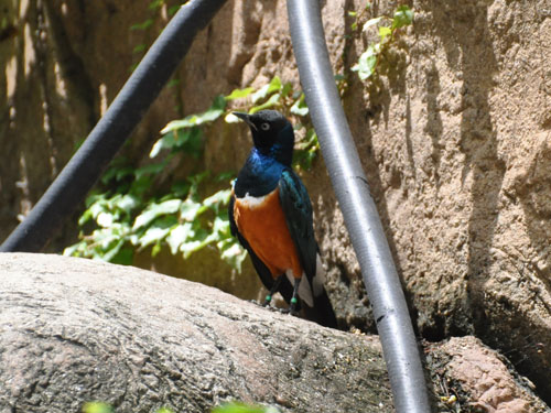 photo Superb starling / <span class='cursive'>Lamprotornis superbus</span>