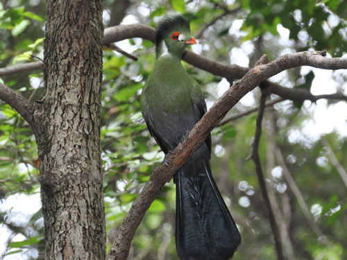 photo White-cheeked turaco / <span class='cursive'>Tauraco leucotis</span>