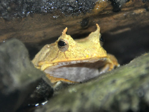 Solomon Islands leaf frog